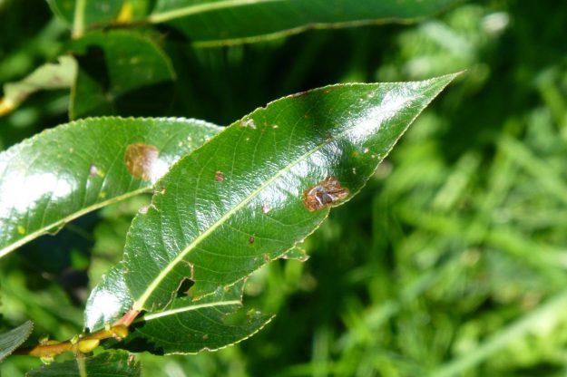 Shining Willow (Salix lucida)