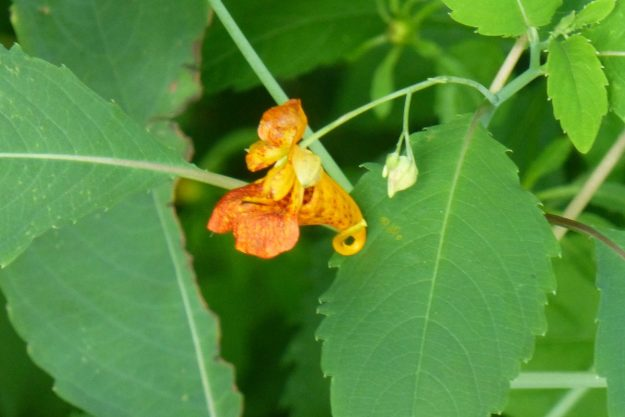 Spotted Jewelweed (Impatiens capenesis)