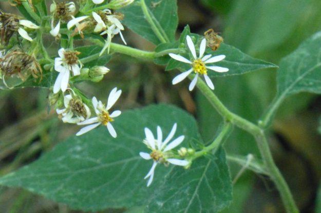 Arrow-leaved Aster (Symphyotrichum urophyllum)
