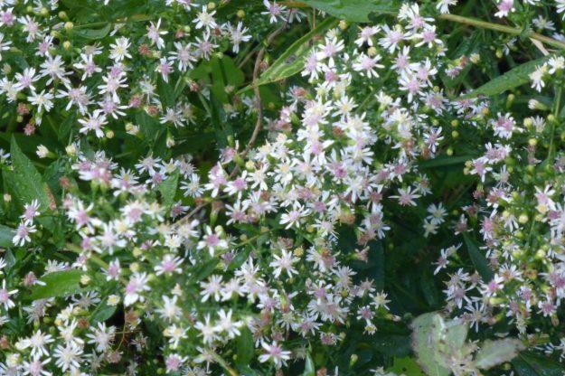 Calico Aster (Symphyotrichum lateriflrum)