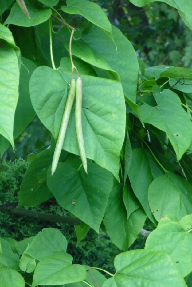 Northern Catalpa (Catalpa speciosa)
