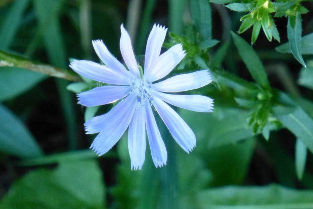 Chicory (Cichorium intybus)