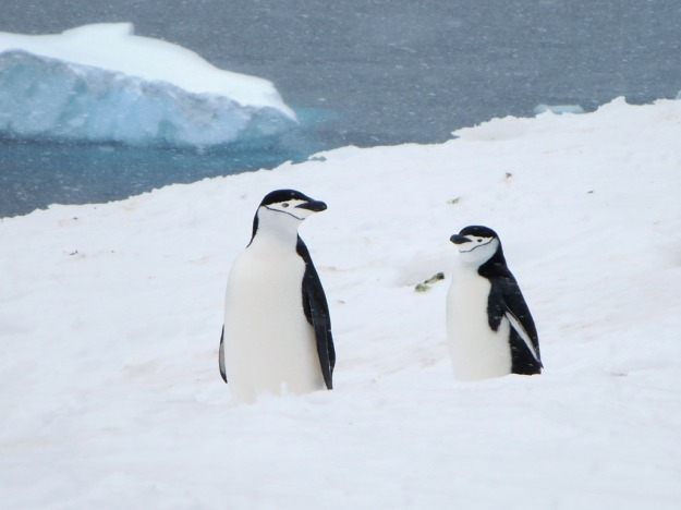 Chinstrap Penguins (photo: flickr)