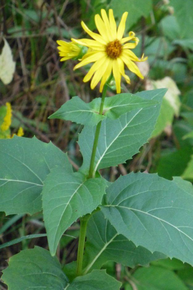 Cup Plant (Silphium perfolitum)
