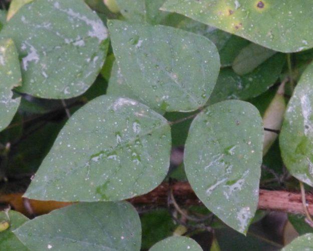 Hog Peanut (Amphicarpaea bracteata)