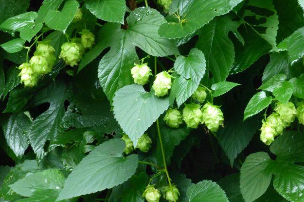Japanese Hops (Humulus japonicus)