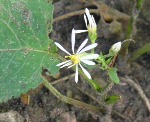 Large-leaved Aster (Eurybia macrophylla)