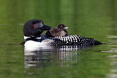 Loon Chick Riding on Mother's Back
