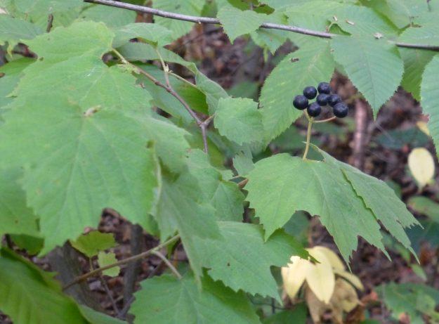 Maple-leaved Viburnum (Viburnum acerifolium)
