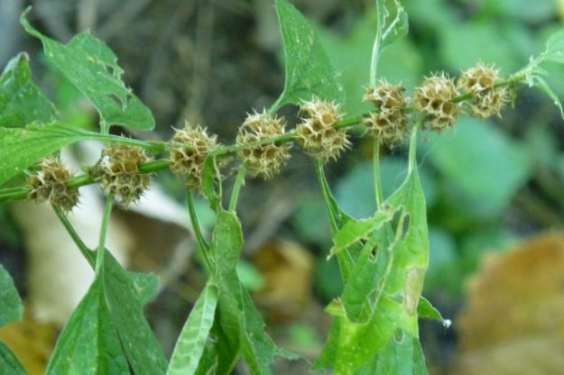 Motherwort (Leonurus cardiaca)