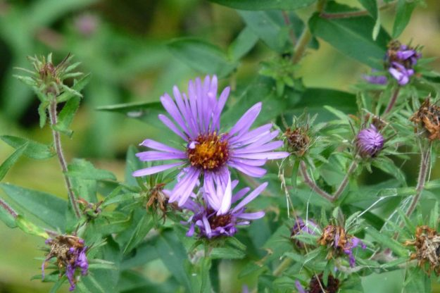 New England Aster (Symphyotrichum novae-angliea)