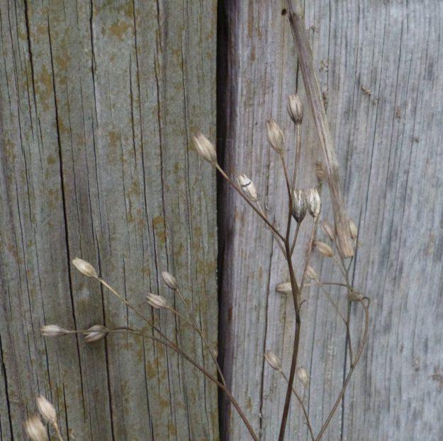 Nipplewort gone to seed