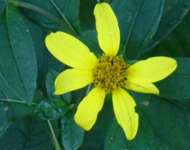 Pale-leaved Sunflower (Helianthus decapetalus)