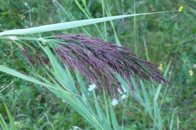 Reed (Phragmites australis)