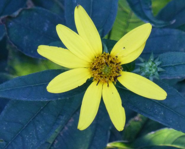 Pale Sunflower (Helianthus decapetalus)