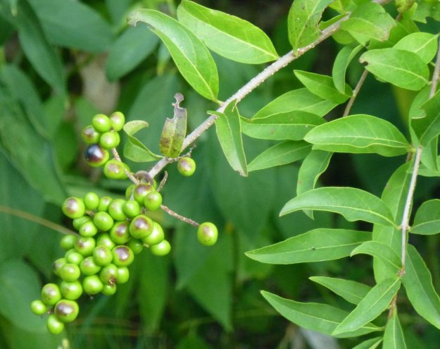 Common Privet (Ligustrum vulgare)