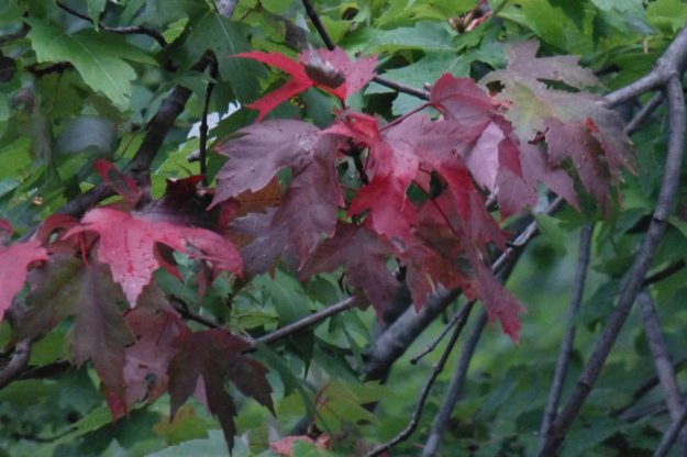 Red Maple (Rhus typhina)