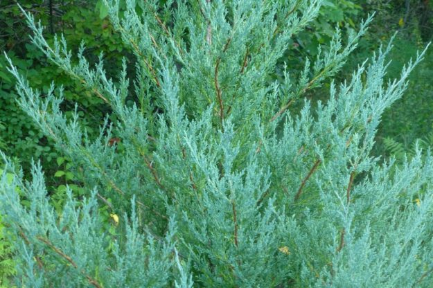 Red Cedar (Juniperus virginiana)