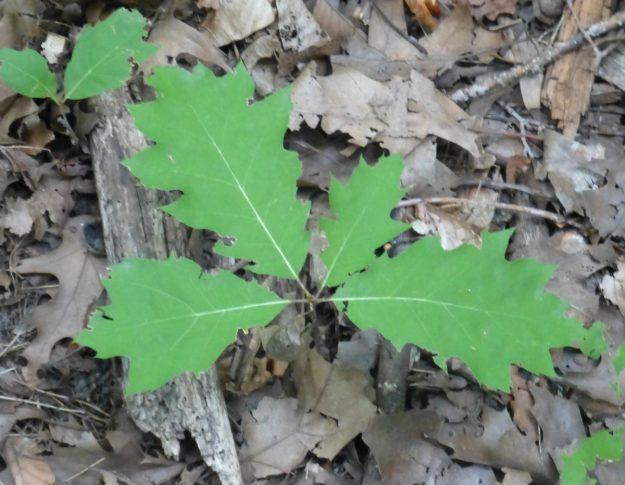 Red Oak (Quercus rubra)