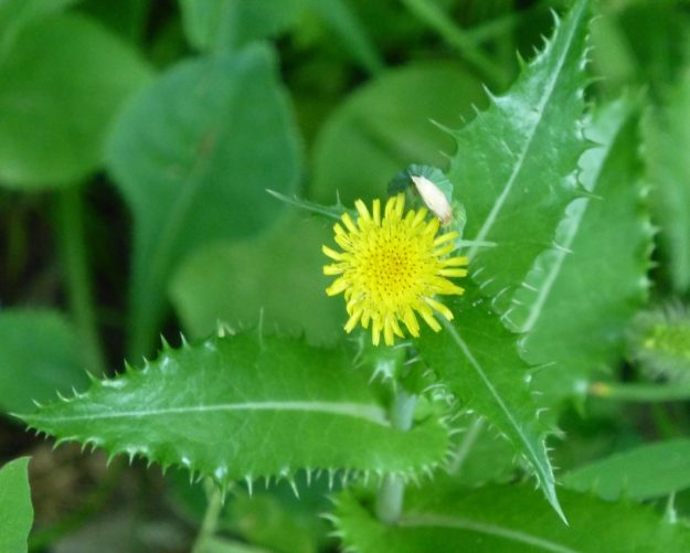 Spiny-leaved Sow Thistle (Sonchus asper)