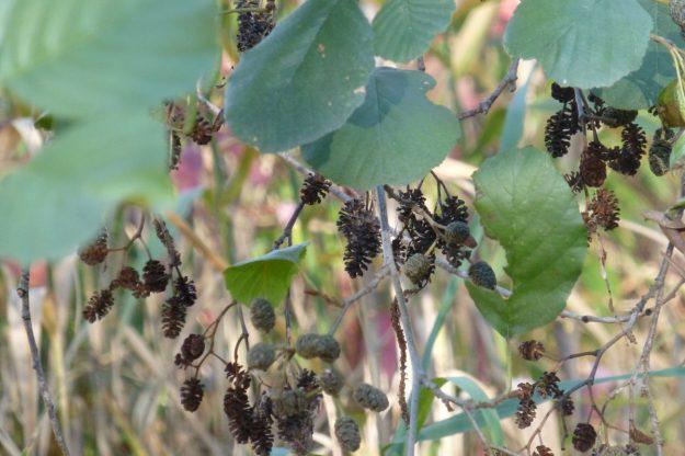 European Black Alder (Alnus glutinosa)