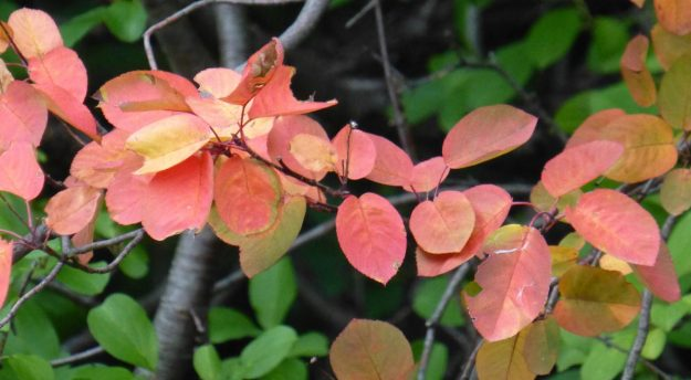 Serviceberry (Amelanchier)