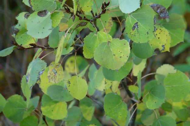 Trembling Aspen (Populus tremuloides)