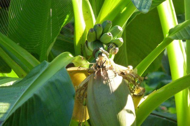 Banana Tree (Musa)