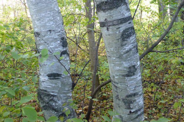 Europeaan birch (Betula pendula)