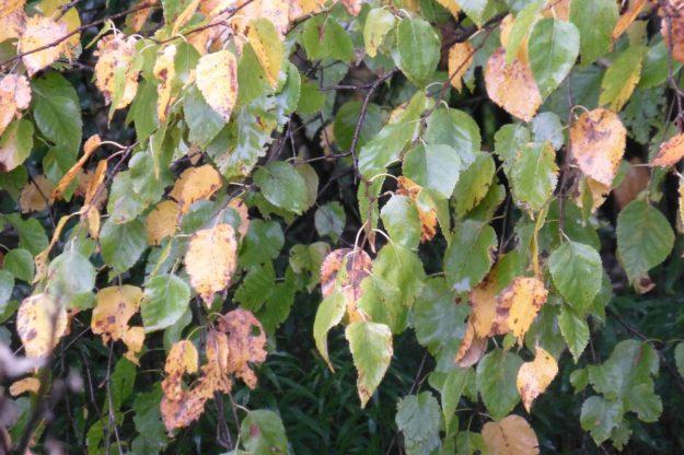 White Birch (Betula papyifera)
