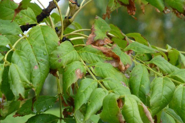 European Black Ash (Fraxinus excelsior)