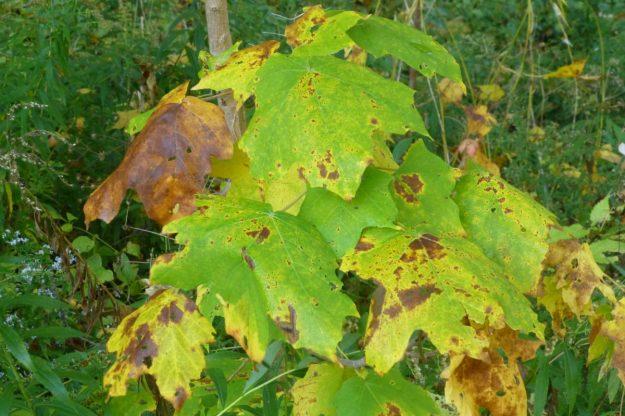 Black Maple (Acer nigra)