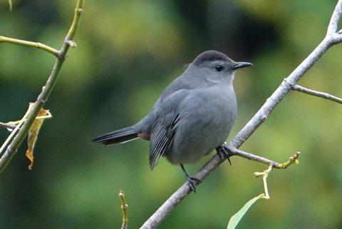 Catbird (Photo: Heather Pantrey