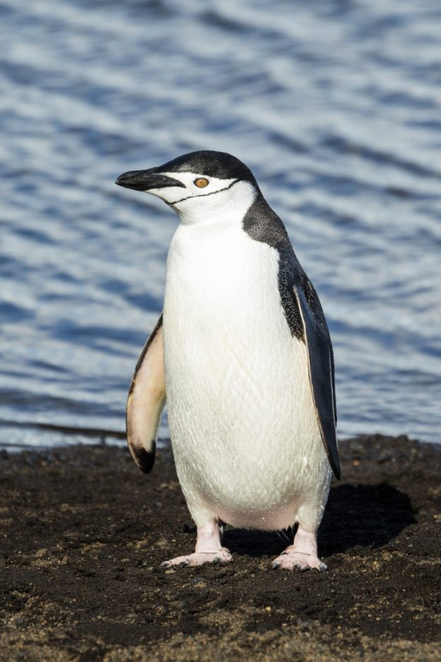Chinstrap Penguin (photo: wikipedia)