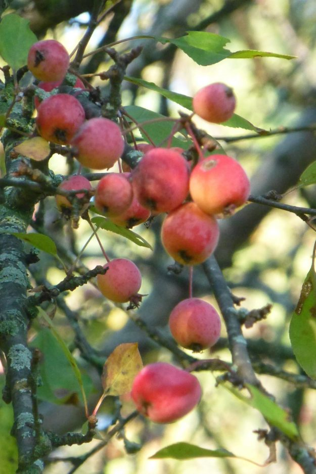 Crab Apple (Malus)