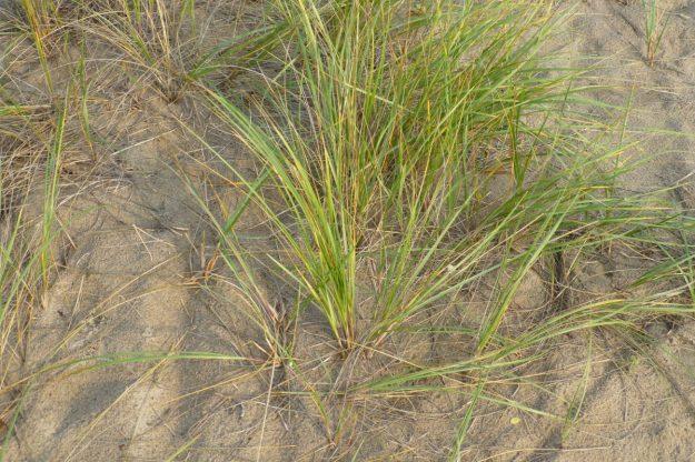 Beach Grass (Ammophilia breviligulata)