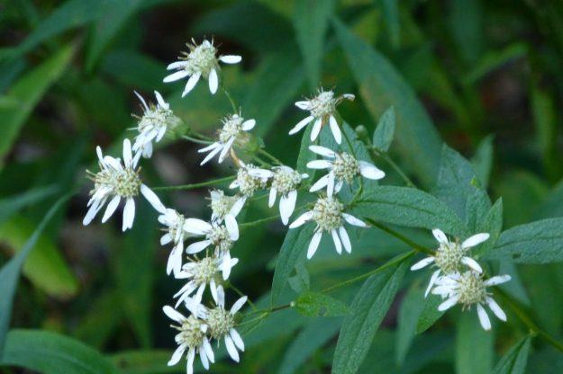 Flat-topped Aster (Doellingeria umbellata)