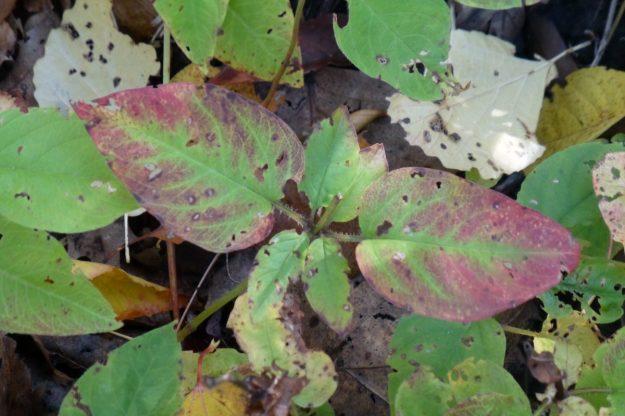Fringed Loosestrife (Lysimachia ciliata)