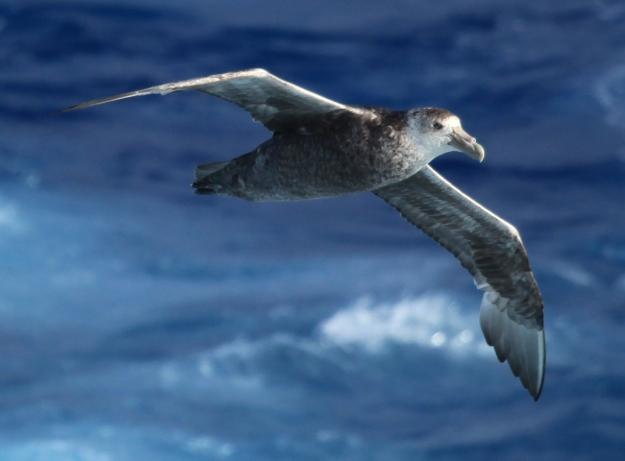 Southern Giant Petrel (photo: wikimedia)
