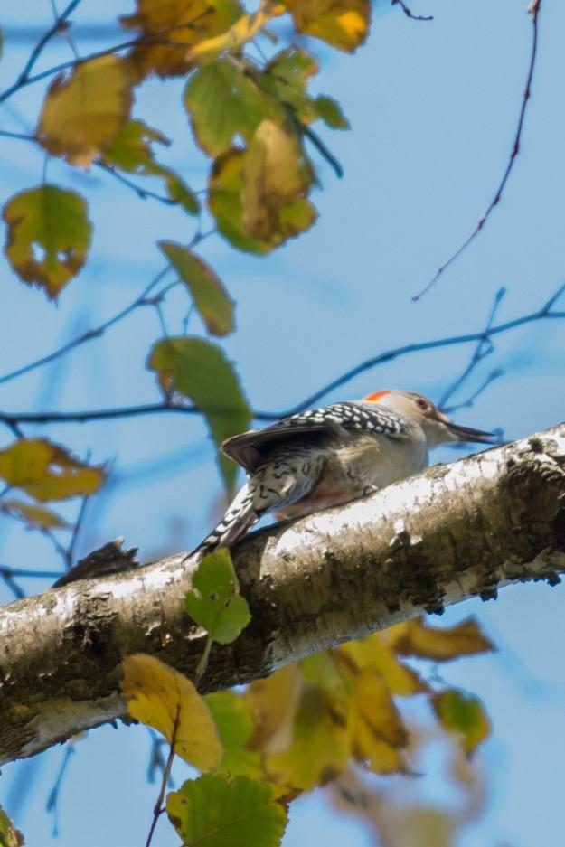 Red-bellied Woodpecker (photo: Lilian Natalizio)