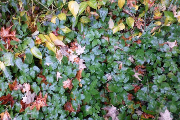 Goutweed (Aegopodium podagraria)