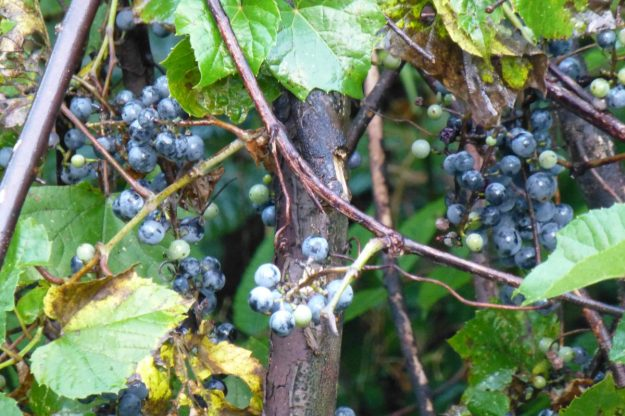 Riverbank Grape (Vitis riparia)