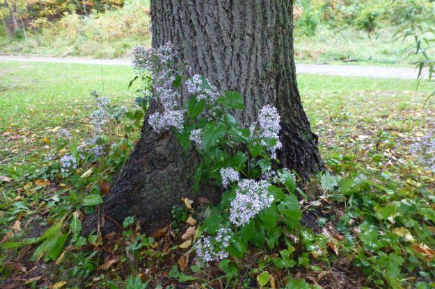 Heart-leaved Aster (Symphyotrichum codifolium)
