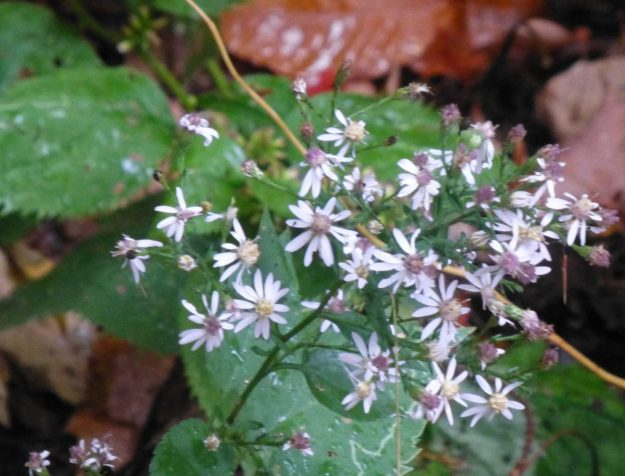 Heart-leaved Aster (Symphyotrichum cordifolium)