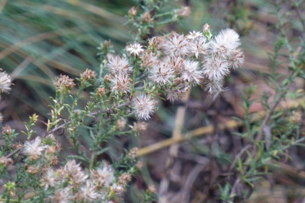 Heath Aster (Symphyotrichum ericoides)