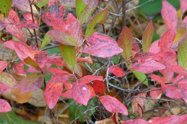 Huckleberry (Gaylussacia baccata)