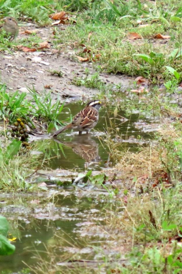 White-throated Sparrow (Photo: Irene Okura)
