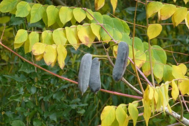 Kentucky Coffee Tree (Gymnocladus dioicus)