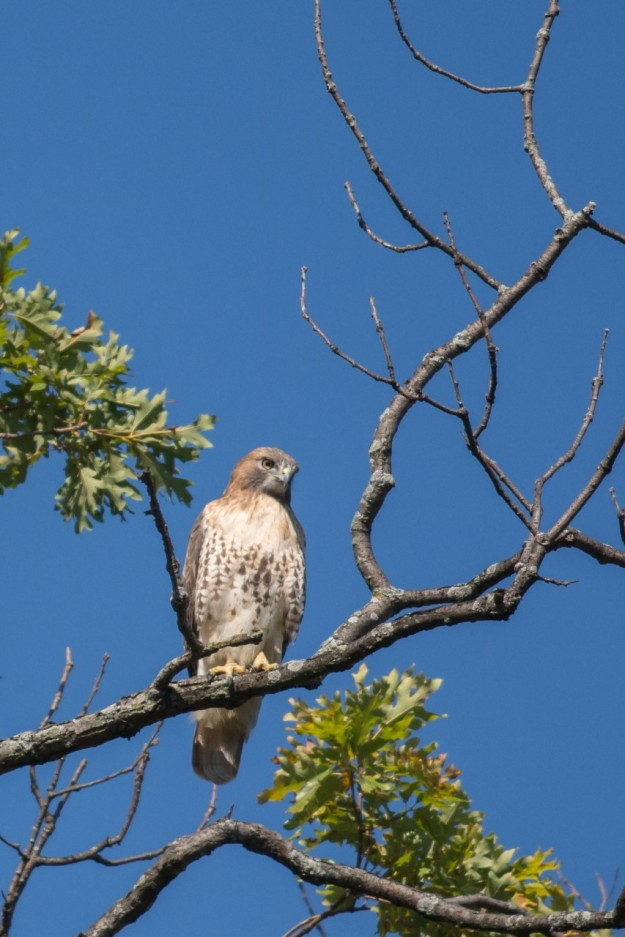 Red-tailed Hawk (Photo: Lillian Natalizio)