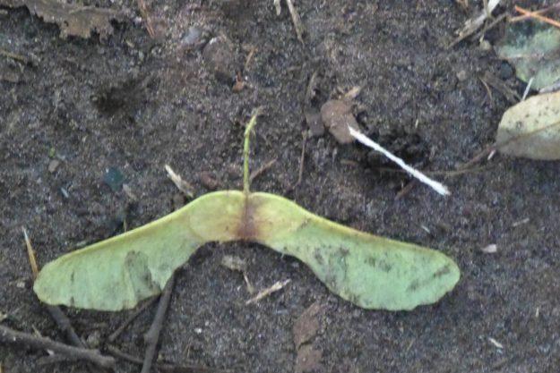 Norway Maple Key (Acer Plantanoides)